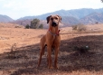 Rhodesian Ridgeback, 7 months, gold